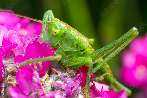 Green grasshopper on pink flower close up