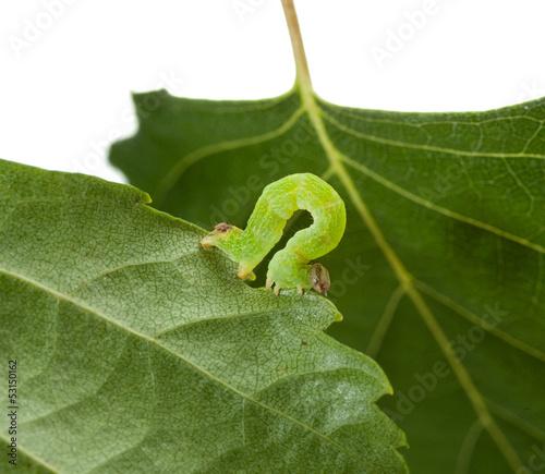 Macro of green inchworm on birch leaf
