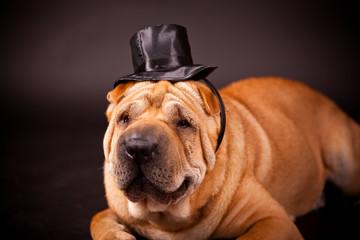 Sharpei dog waring stovepipe