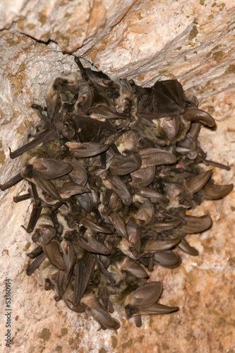 Bat group hanging from mine ceiling