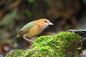 Rusty-naped pitta on green stone, thailand