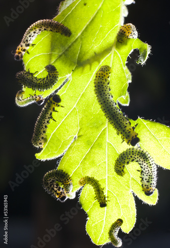 caterpillars eating leaf