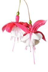 Lady's Eardrops ( Fuchsia )