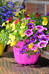 Mini-Petunie im Blumentopf