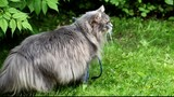 Big gray cat with long hair in the garden in summer