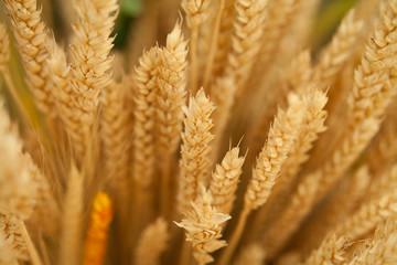 zboże kłos pszenica zbiory pole rolnictwo