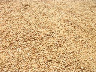 Tahıllardan buğday