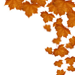 Maple leaves  defoliation