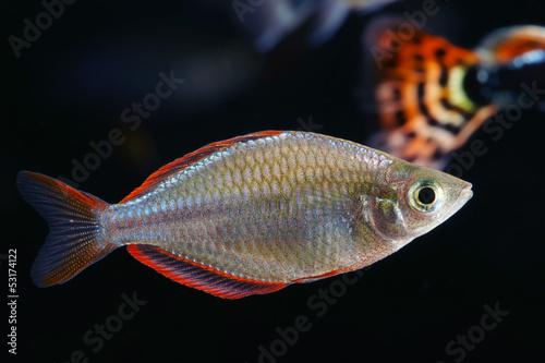 Deurstickers Pauw Neon Dwarf Rainbowfish