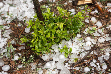 Big ice balls hail in the forest with cowberry