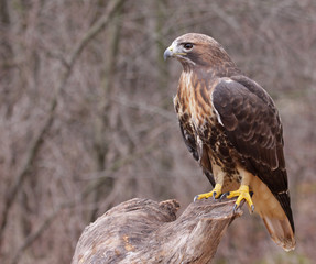 Patient Red-tailed Hawk (Buteo jamaicensis)