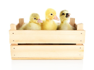 Little ducklings in wooden box isolated on white