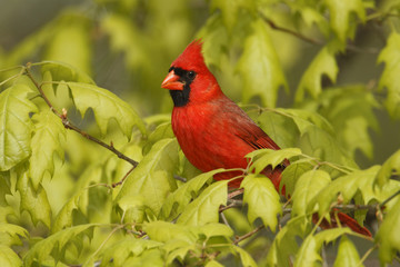 Male Northern Cardinal (Cardinalis cardinalis) in an oak tree