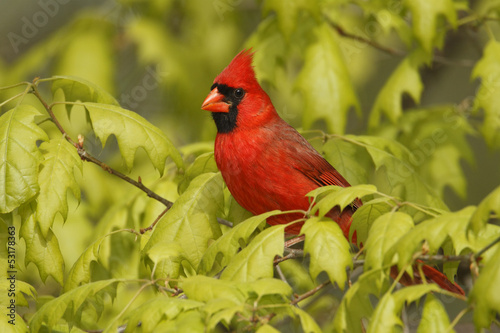 Male Northern Cardinal (Cardinalis cardinalis) in an oak tree