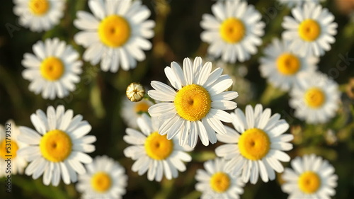 Nature background with daisies