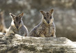 wild mareeba rock wallabies, mitchell river, Cairns, australia