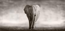 "Постер, картина, фотообои ""Elephant"""