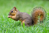 Young Eastern Fox squirrel (Sciurus niger)