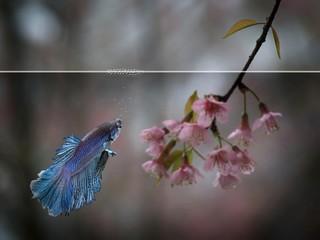 half moon siamese betta with sakura flower