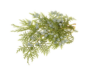 Juniper, twig with cones, close up, isolated
