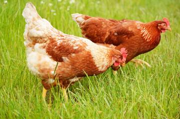 Brown chicken in grass