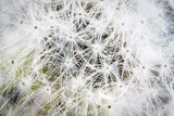 Dandelion seed background, macro.