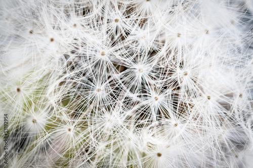 Dandelion seed background, macro.