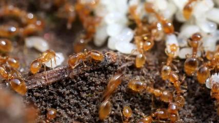 Ameisen Arterhaltung Eier Formicidae