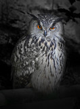 The evil eyes in the night. ( Eagle Owl, Bubo bubo).