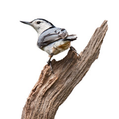 Back Turn Nuthatch