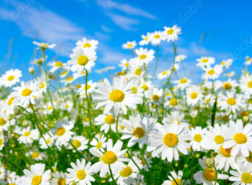 Foto op Canvas Madeliefjes white daisies