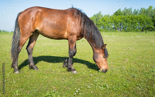 Grazing brown horse in the sunny meadow