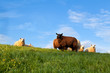 white and brown sheep on pasture over blue sky