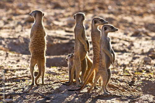Suricate family standing near nest