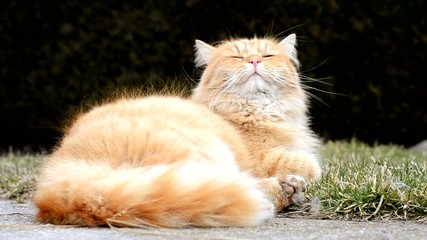 Beautiful ginger cat relaxes in the garden
