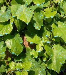 Bouillie bordelaise sur vigne