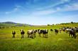 Cows Pasturing