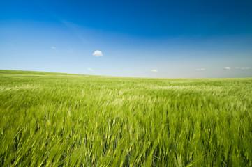 wogendes Getreidefeld im Wind
