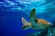 Green Sea Turtle swimming along tropical reef - 53210593