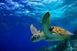 Leinwandbild Motiv Green Sea Turtle swimming along tropical reef