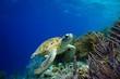 Green Sea Turtle swimming along tropical reef - 53210597