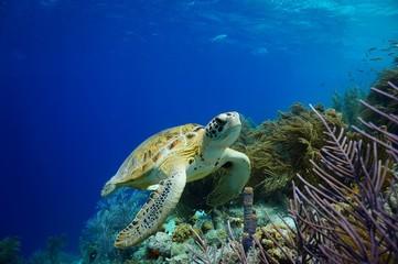 Green Sea Turtle swimming along tropical reef