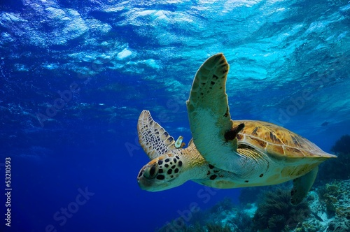 In de dag Schildpad Green Sea Turtle swimming along tropical reef