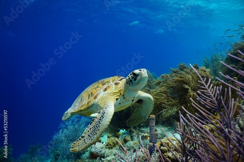 Papiers peints Tortue Green Sea Turtle swimming along tropical reef