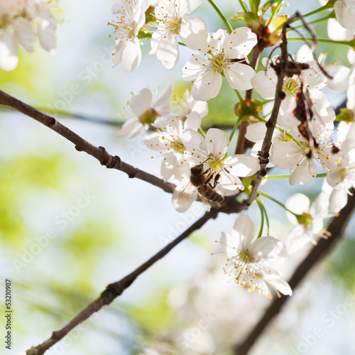 honey bee on cherry flowers