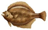 Psettodes Erumei Flounder poster