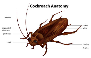 Cockroach Anatomy
