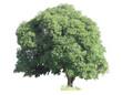 Mango tree (Mangifera indica),isolated on white background