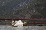 Sitting Sacred White Yak in the Rain