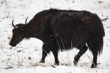 Yak Walking in the Snow